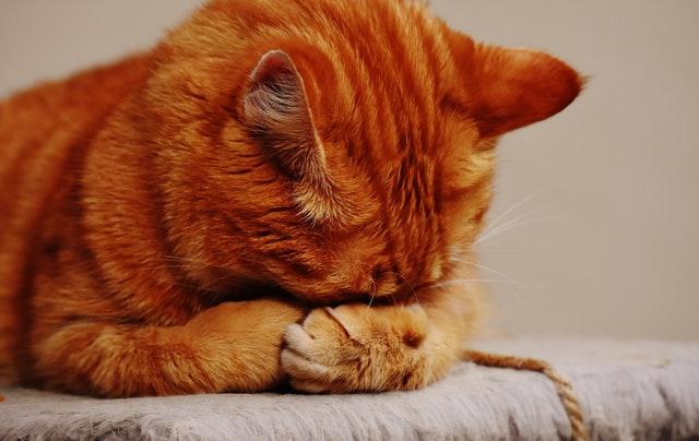 chat malade